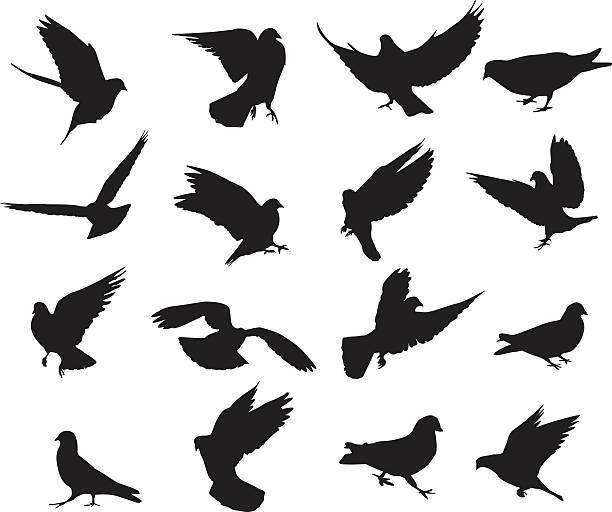 Pigeon silhouettes A large set of pigeon silhouettes. Isolated on white.  pigeon stock illustrations