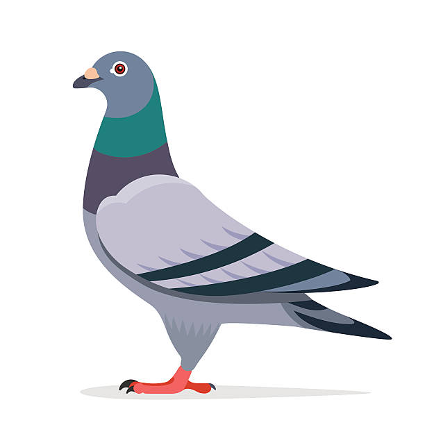 Pigeon vector character Pigeon bird vector character color flat illustration pigeon image pigeon stock illustrations