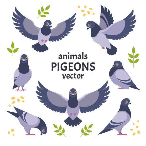 Pigeons collection. Vector illustration of grey cartoon pigeon in different poses. Isolated on white background. pigeon stock illustrations