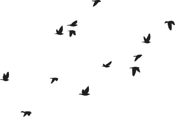 Pigeons Flying Silhouettes 6 Vector silhouettes of a group of pigeons flying. bird stock illustrations