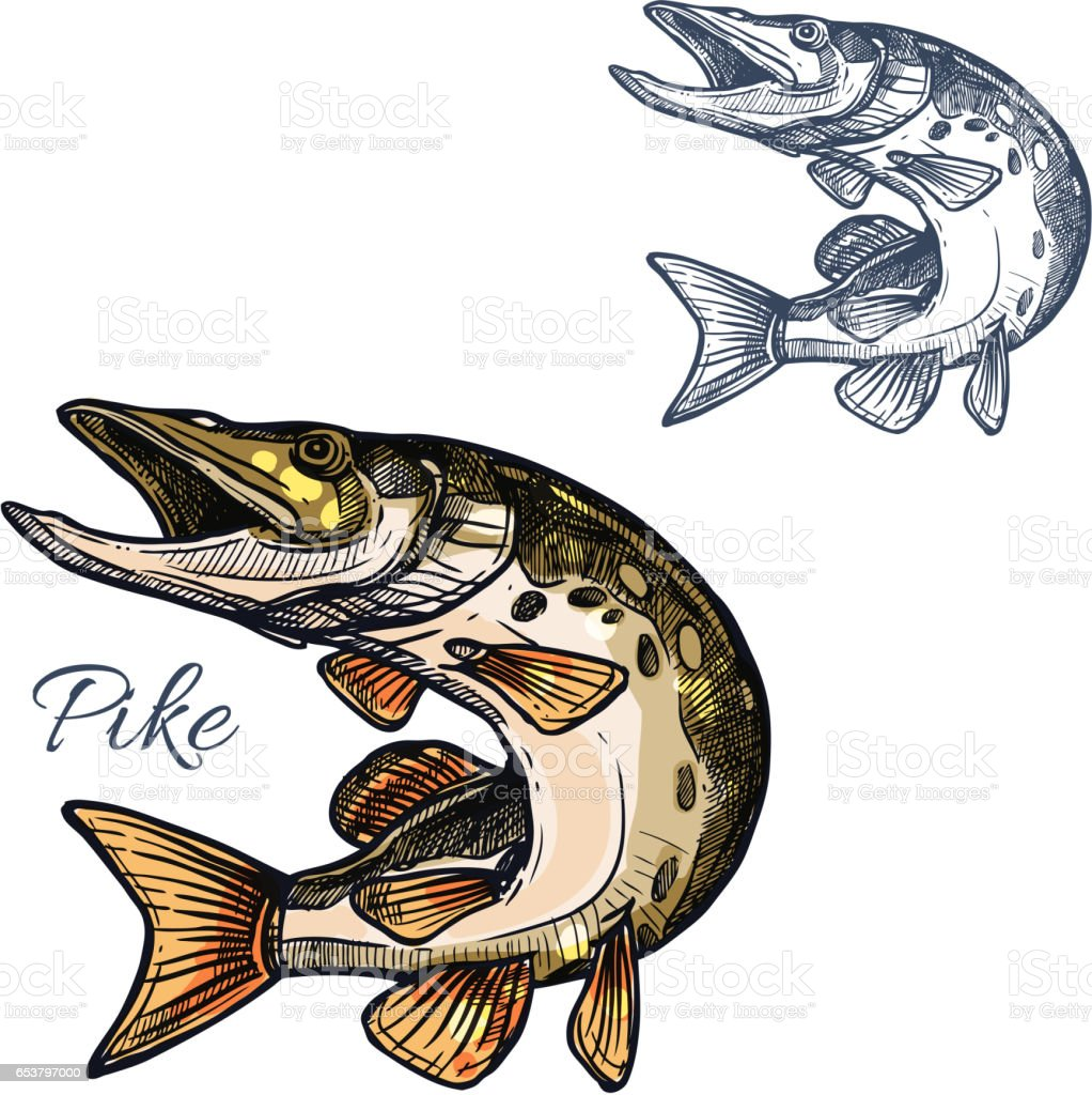 Pike fish sketch vector isolated icon - Illustration vectorielle