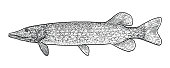 Pike illustration, drawing, engraving, ink, line art, vector