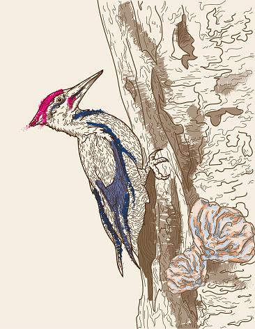 Pileated Woodpecker Line Art