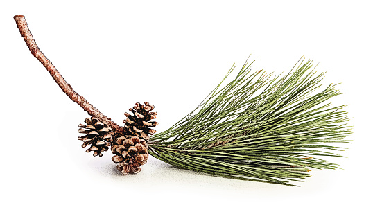 Pine Bough and Cones