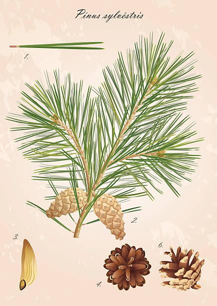 bildbanksillustrationer, clip art samt tecknat material och ikoner med pine branch with cones - fur