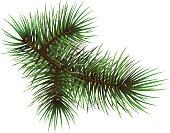 Pine branche