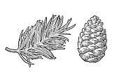 Pine cone and branch of fir tree. Isolated on white background. Vector vintage black engraving illustration.