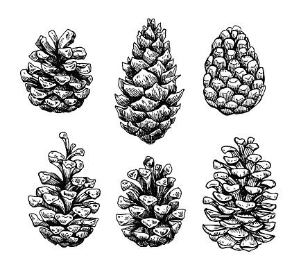 Pine cone set. Botanical hand drawn vector illustration. Isolate