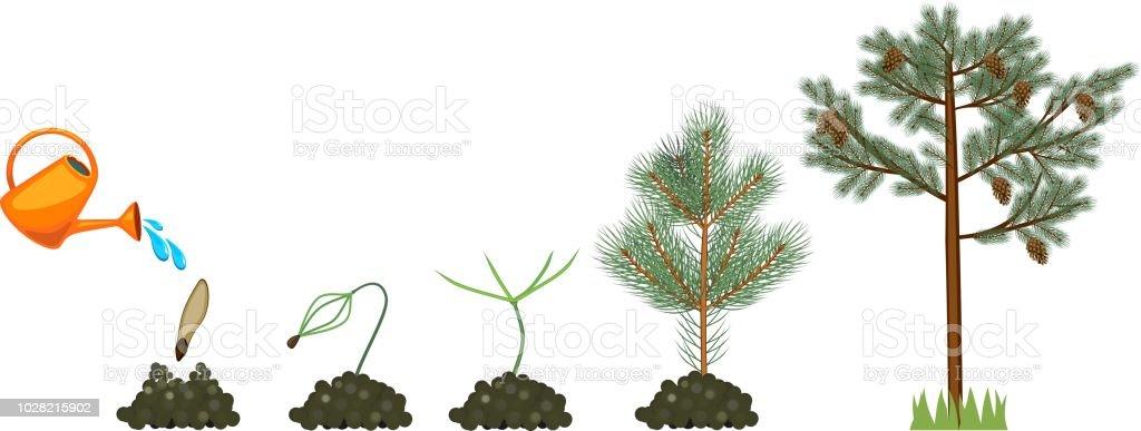 Ilustración de Ciclo De Vida Del árbol De Pino Aumentando Desde La ...