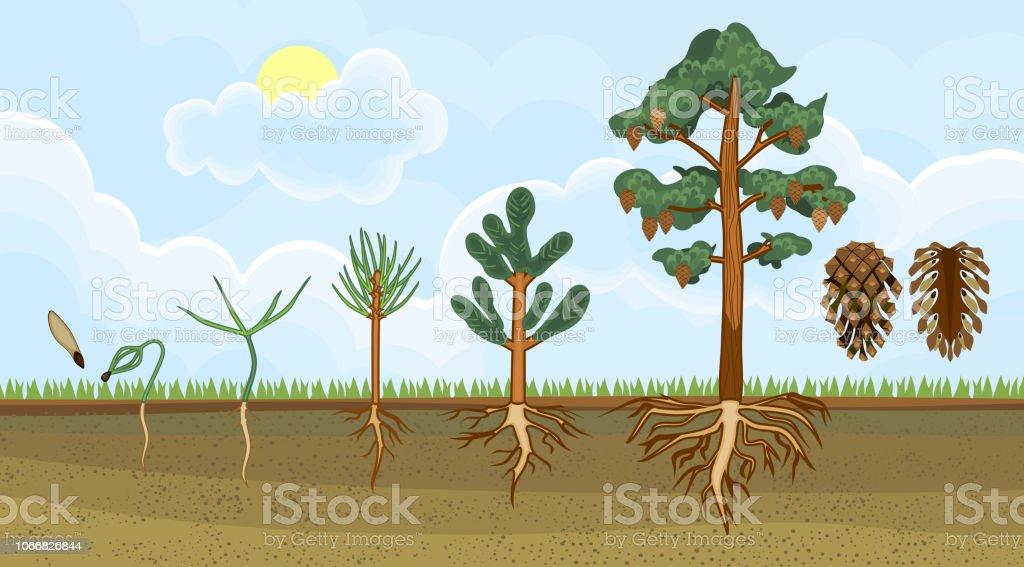 Außergewöhnlich Kiefer Baum Lebenszyklus Stadien Des Wachstums Vom Samen Zur Reife &QK_96