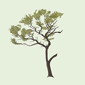 Australian Pine Tree