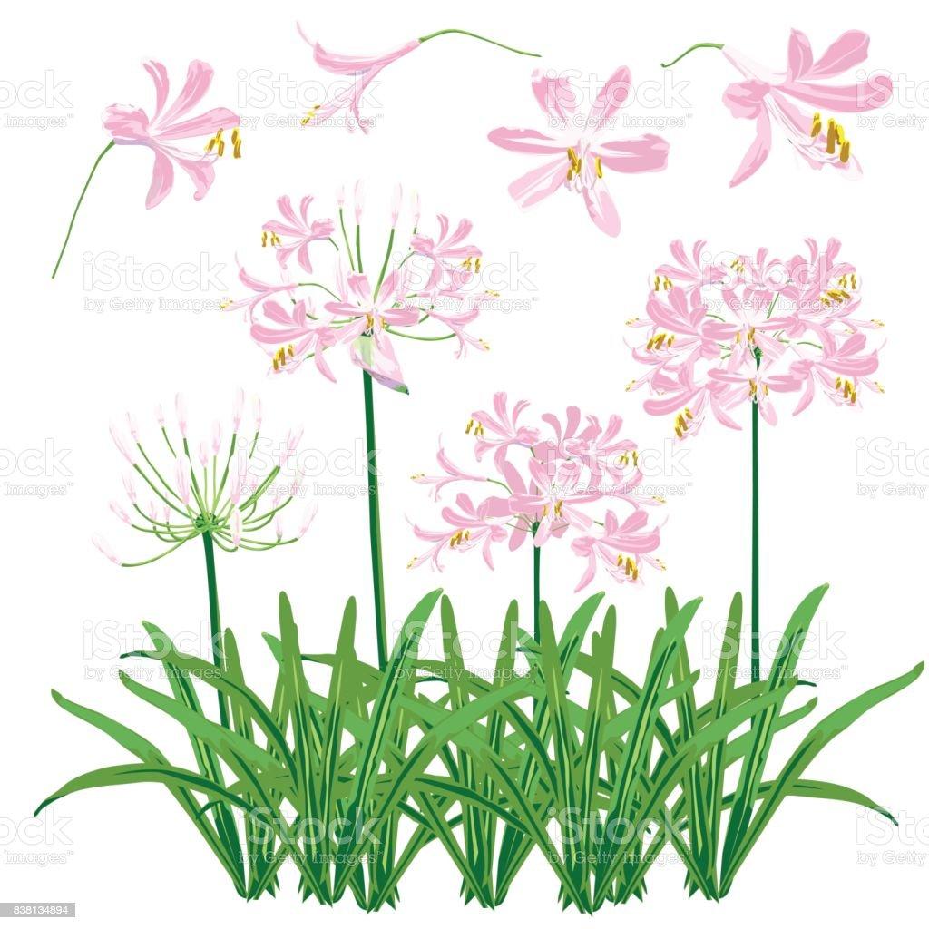 Pink agapanthus flower spring for object. vector art illustration