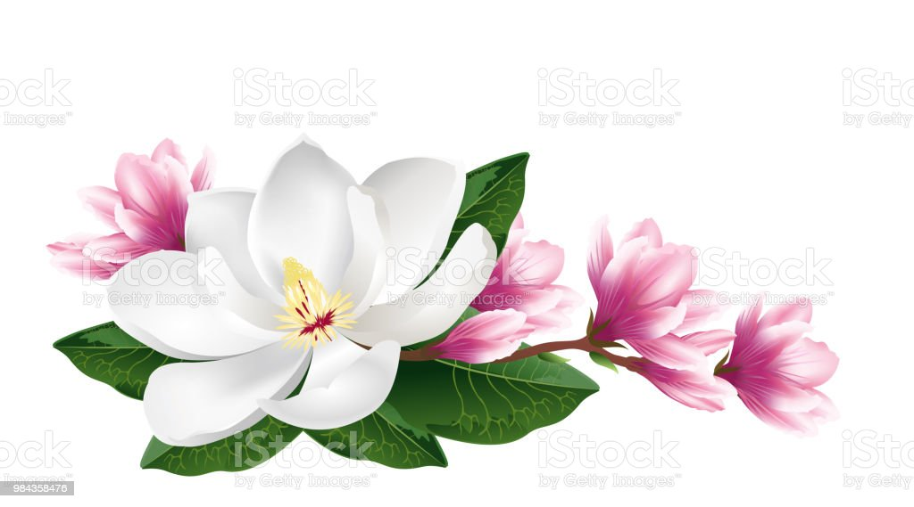 Pink And White Magnolia Flowers Realistic Vector Illustration Stock