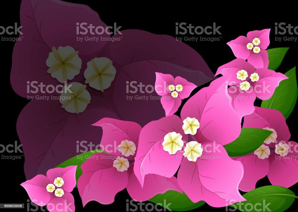 Siyah arka plan üzerine pembe Begonviller çiçekler vektör sanat illüstrasyonu