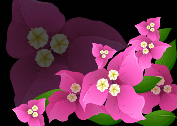 Flores de buganvillas de color rosa sobre fondo negro - ilustración de arte vectorial