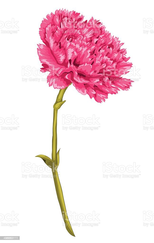 This is an image of Insane Pink Carnation Drawing