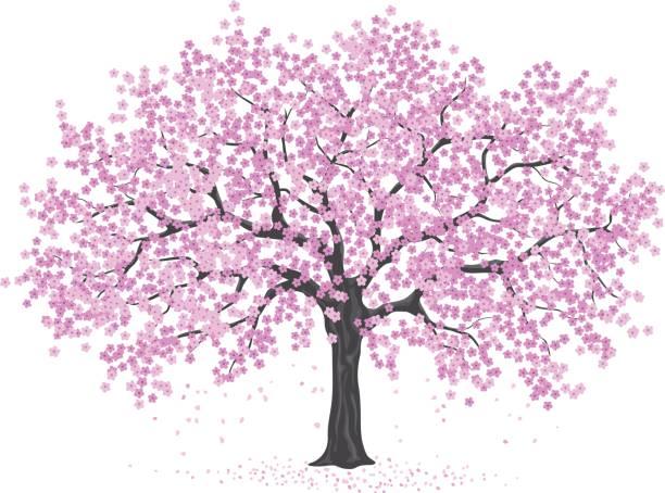 Best Japanese Cherry Blossom Tree Illustrations Royalty