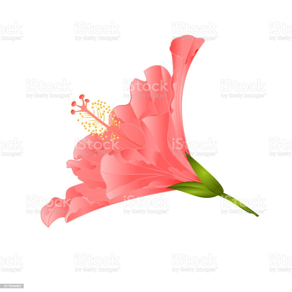 Pink flower tropical plant hibiscus on a white background vintage pink flower tropical plant hibiscus on a white background vintage vector illustration editable royalty free izmirmasajfo