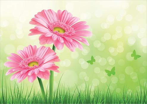 Pink Gerbera Background