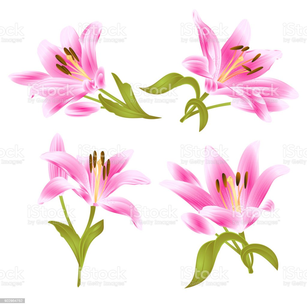 Pink Lily Lilium Candidumflower With Leaves And Bud On A White