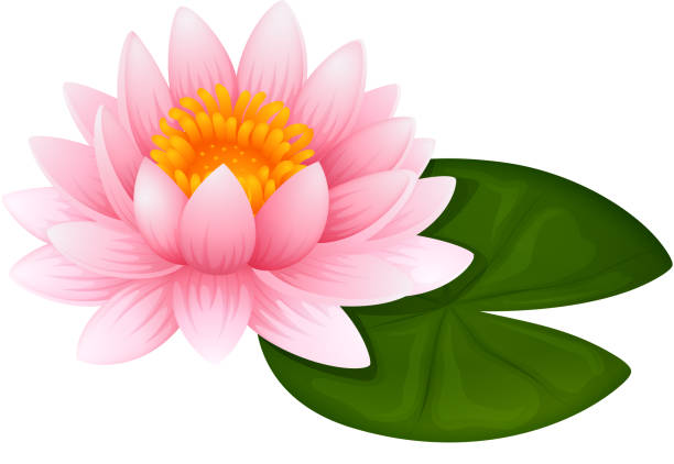 Top 60 Cartoon Of A White Lotus Flower Clip Art Vector Graphics And
