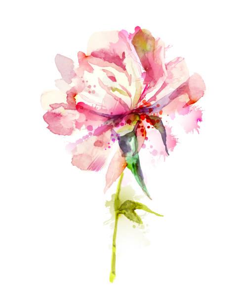 pink peony The single flowering pink peony single flower stock illustrations