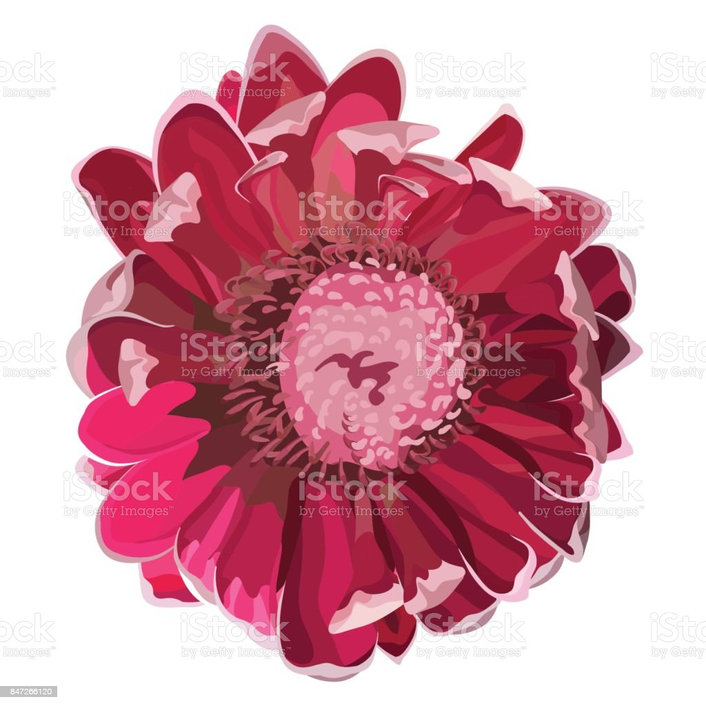 Pink Protea Flowering Vector Illustration vector art illustration