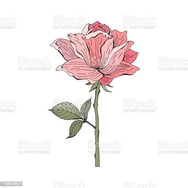 Pink red rose on white background botanical illustration vector vector id1168130421?b=1&k=6&m=1168130421&s=612x612&h=m7cdwukfqmehkxr1sldtfsu0qt  j5flqb0sseaueuy=