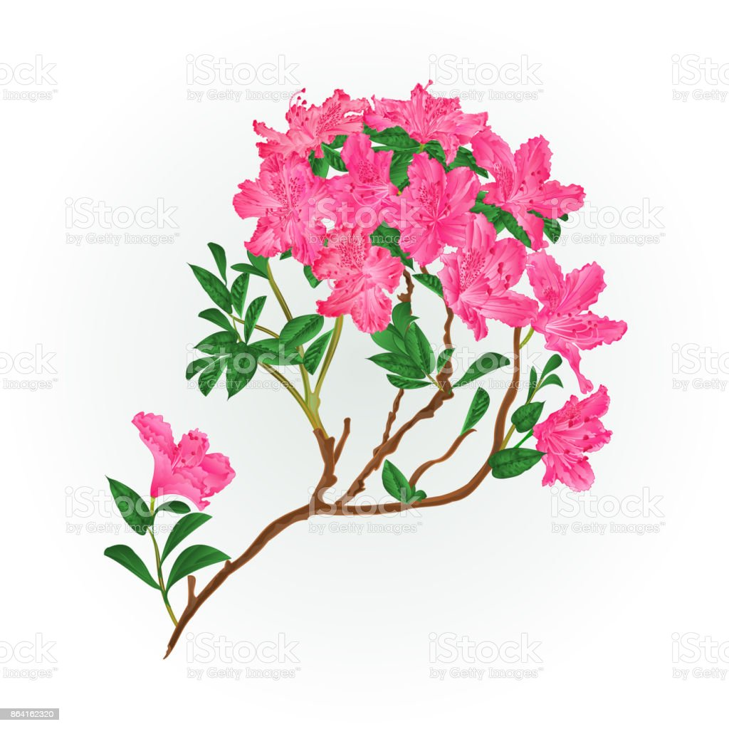 Pink rhododendron branch mountain shrub vintage vector illustration editable royalty-free pink rhododendron branch mountain shrub vintage vector illustration editable stock vector art & more images of allergy