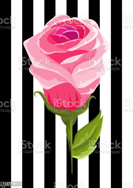 Pink rose bud illustration insolated flower on strip background vector id1147756113?b=1&k=6&m=1147756113&s=612x612&h=wkkezmnt75niqgxa1jhdce3txqhsdhpncoagjo08a u=