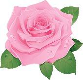 Vector illustration of pink rose.