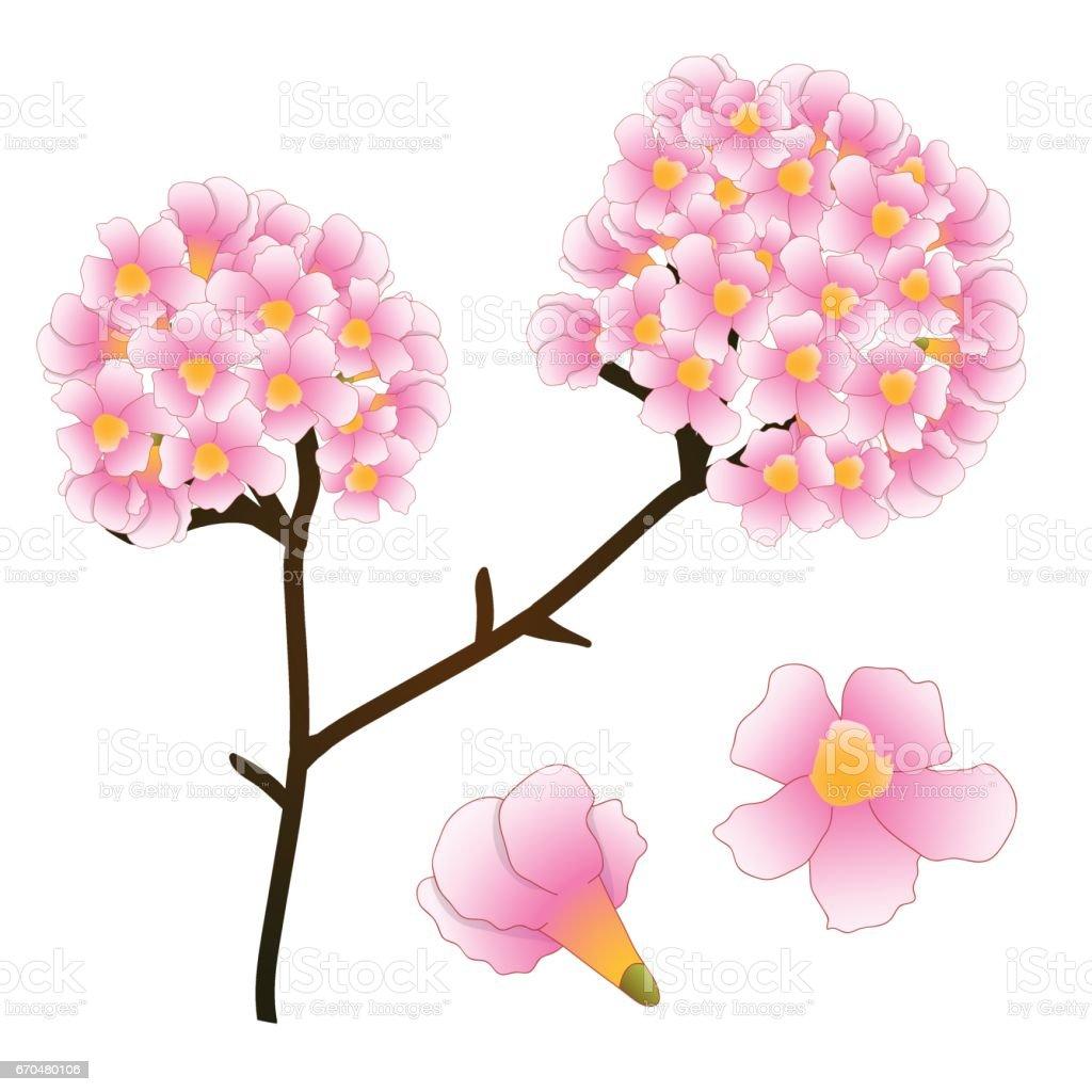 Pink Trumpet Flower Tree. isolated on White Background. Vector Illustration vector art illustration