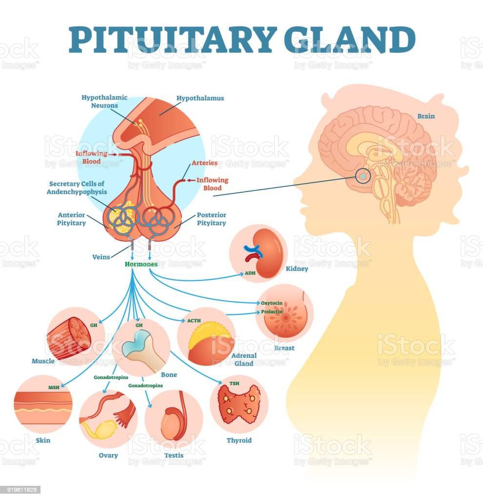 Pituitary Gland Anatomical Vector Illustration Diagram Educational
