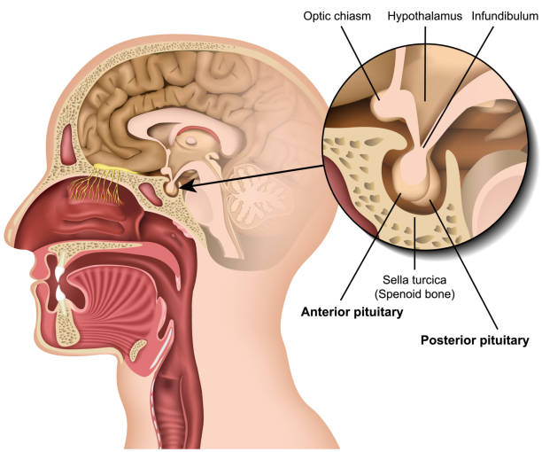Pituitary gland anatomy 3d medical vector illustration isolated on white background hypothalamus in human brain eps 10 infographic Pituitary gland anatomy 3d medical vector illustration isolated on white background hypothalamus in human brain eps 10 infographic lateral surface stock illustrations