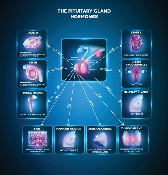 Pituitary gland hormones Pituitary gland secreted hormones and influenced organs in the body. Beautiful bright blue info graphic hormone stock illustrations