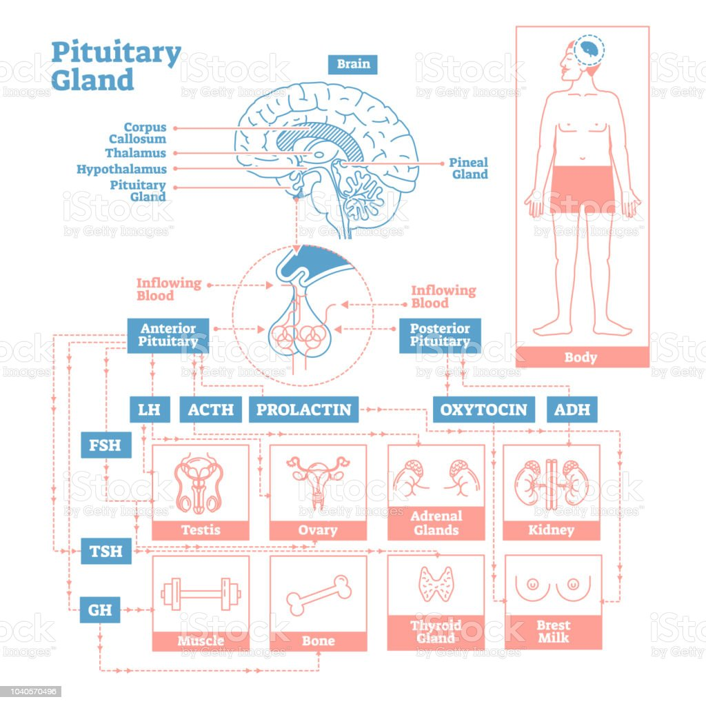 Pituitary Gland Of Endocrine System Medical Science Vector