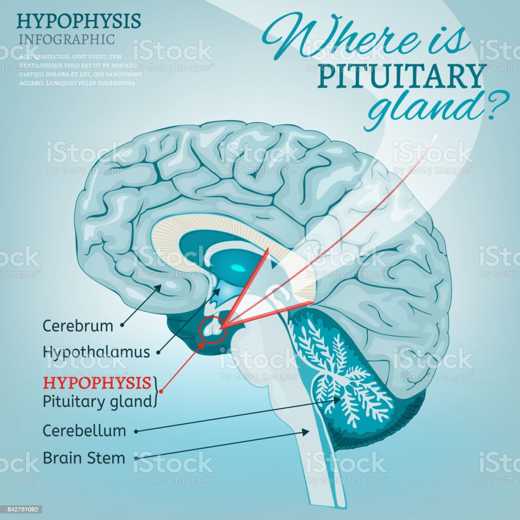 Pituitary Gland Vector Stock Vector Art More Images Of Analyzing