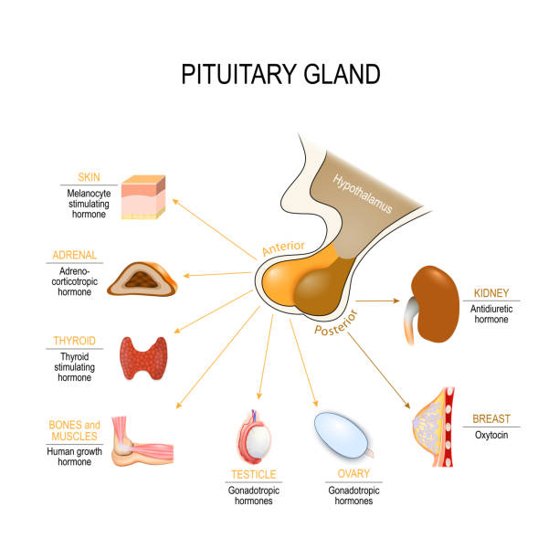 pituitary hormone functions. The two lobes, anterior and posterior, function as independent glands pituitary hormone functions. The two lobes, anterior and posterior, function as independent glands. Vector diagram for educational, medical, biological and science use hormone stock illustrations