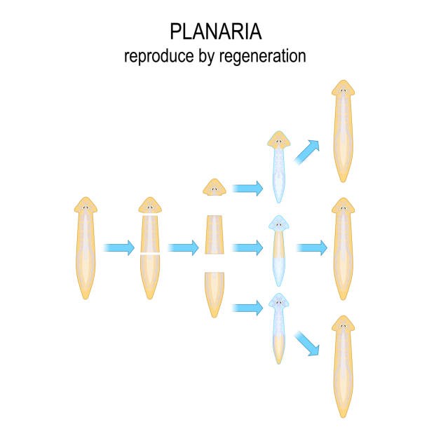 Planaria. reproduce by regeneration. When Planaria is cut into a number of pieces ,each piece of the body grows into a new organism. vector art illustration