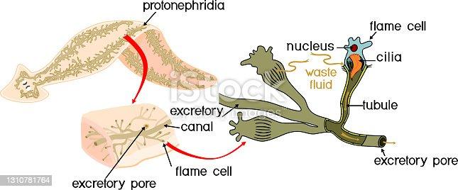 istock Planaria with excretory system (protonephridia) isolated on white background. Flatworm flame cell. Protonephridia of planaria and other flatworm 1310781764