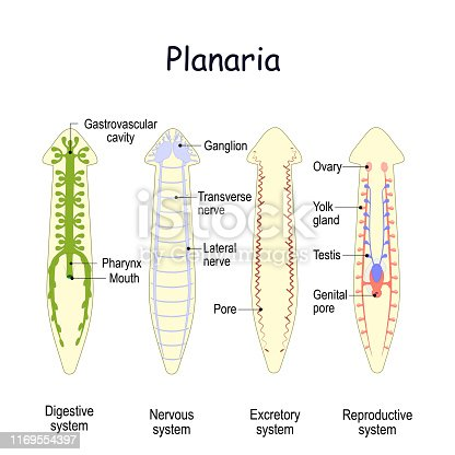 planarian Anatomy. Reproductive, Digestive, Excretory, and Nervous system. Gastrovascular cavity, Nerve cord, Ganglion, Testis and Ovary. Vector illustration for medical, biological, educational and science use