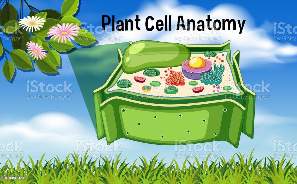 Ilustración de Planta Celular Anatomía Diagrama y más banco de ...
