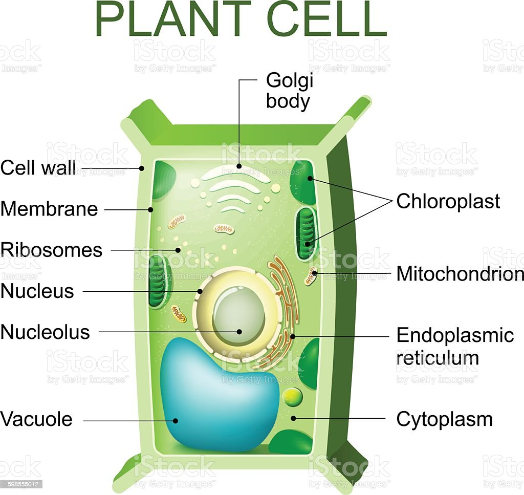 Plant Cell Anatomy Stock Vector Art More Images Of Anatomy