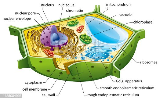 Eukaryotic cell diagram, vector illustration, text on own layer