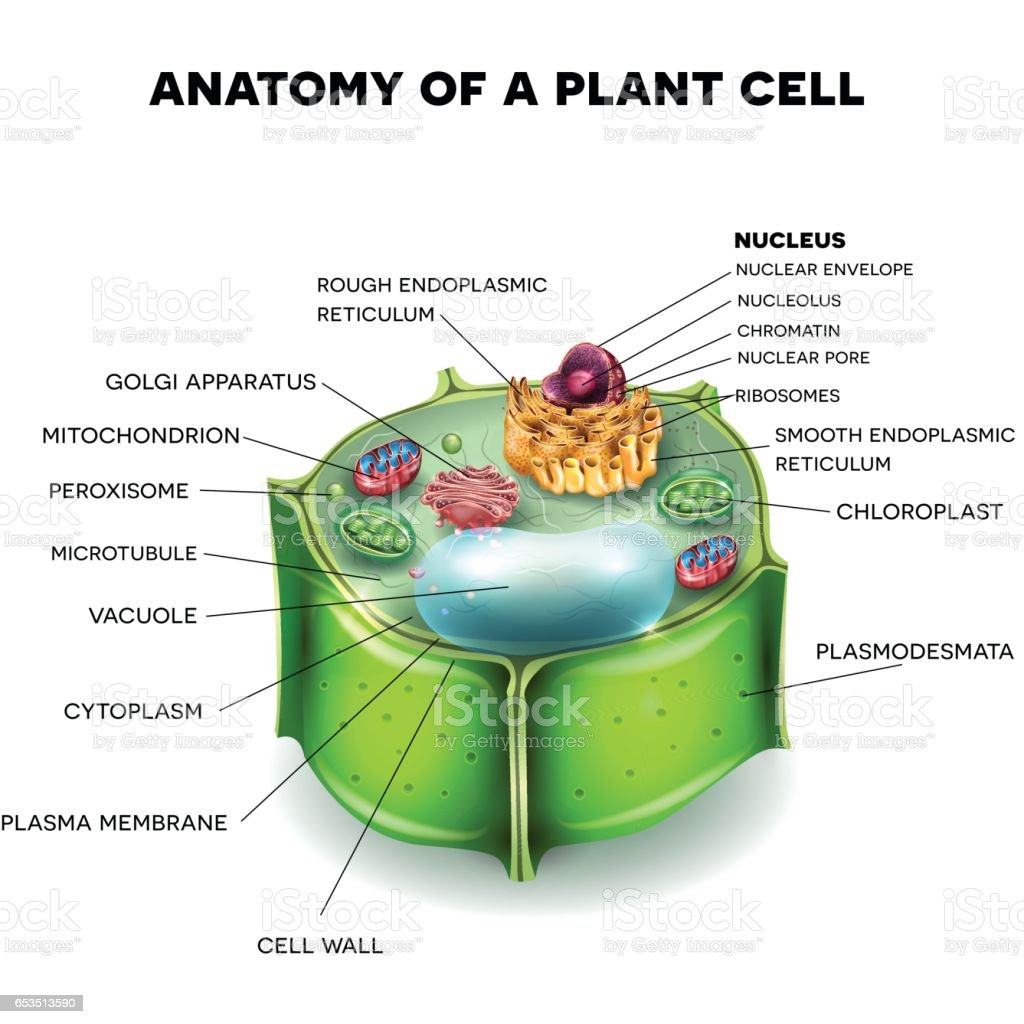 Plant Cell Structure Stock Vector Art & More Images of Anatomy ...