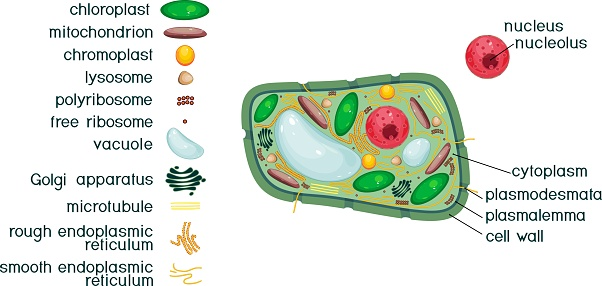 Plant Cell Structure With Titles And Different Organelles ...