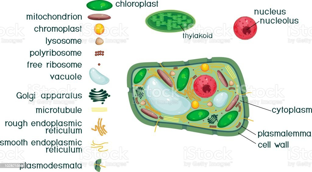 Plant Cell Structure With Titles And Different Organelles Stock ...
