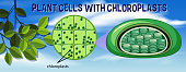 Plant cells with chloroplasts