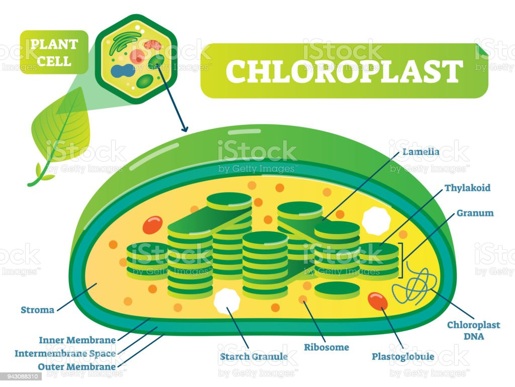 Plant chloroplast chemical biology vector illustration cross section plant chloroplast chemical biology vector illustration cross section diagram royalty free plant chloroplast chemical ccuart Gallery