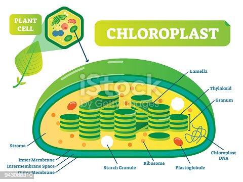 Plant Chloroplast Chemical Biology Vector Illustration ...